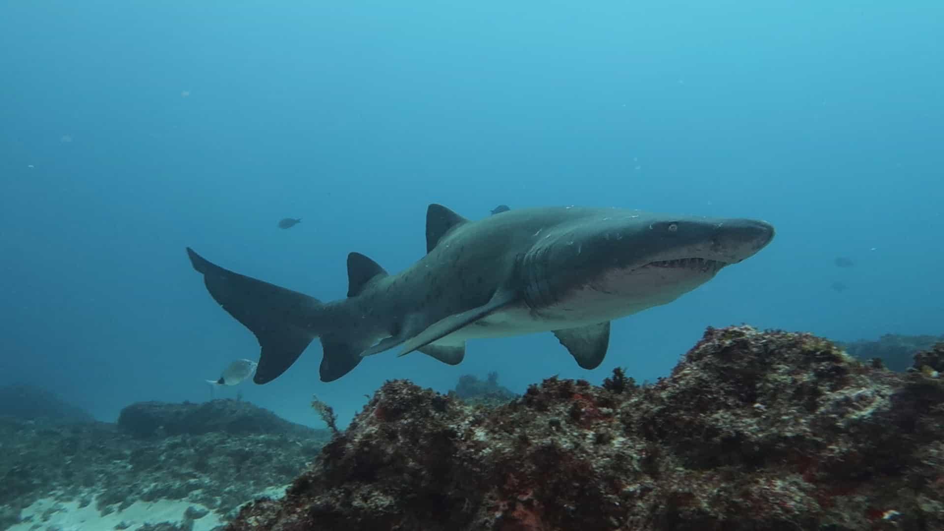 Tubarão nada próximo a mergulhador na África do Sul; veja