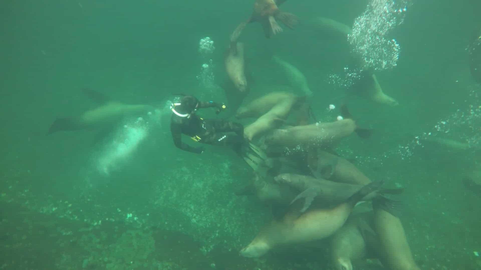Mergulhadores brincam com enorme grupo de leões-marinhos