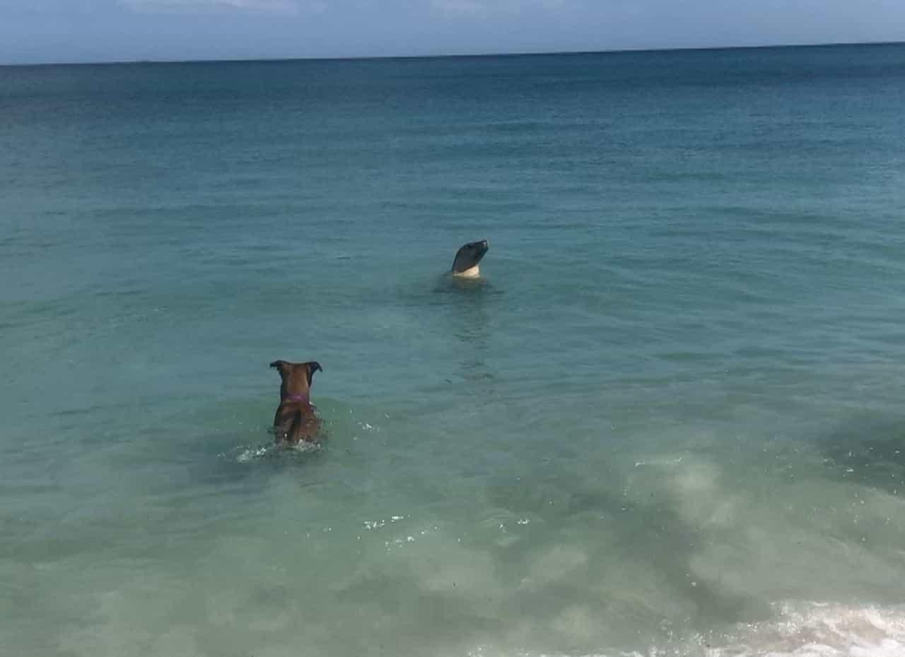 Leão-marinho e cachorro dançam juntos no mar
